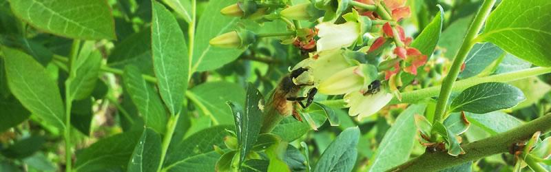 ブルーベリー蜂蜜