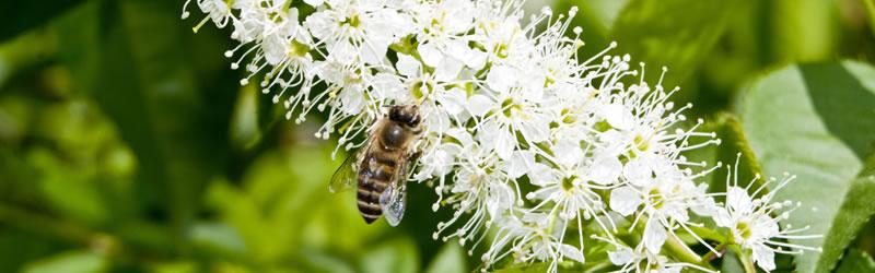 二ホンミツバチの蜂蜜